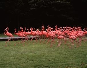 行川アイランドのフラミンゴの群れ(ピンク) 千葉県の写真素材 [FYI03853324]