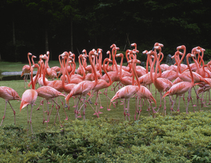 フラミンゴの群れ 千葉県の写真素材 [FYI03853327]