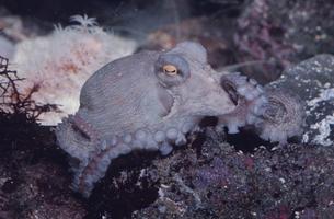 水中の蛸の写真素材 [FYI03853328]