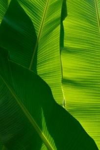 バショウの葉の写真素材 [FYI03853571]