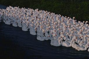 集団で泳ぐアヒルの群れ 蘇州郊外 中国の写真素材 [FYI03854093]