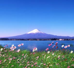 富士山とコスモスの写真素材 [FYI03855105]