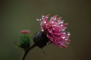 雨滴のついた野アザミの写真素材 [FYI03855122]