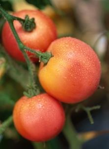 プチトマトの写真素材 [FYI03855304]