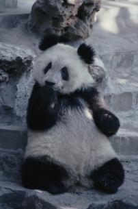 パンダ 中国の写真素材 [FYI03855486]