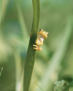 カエルの写真素材 [FYI03855612]