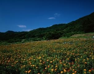 紅花畑と山並み 山形県の写真素材 [FYI03855728]