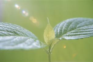若芽の写真素材 [FYI03856182]