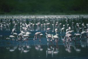フラミンゴの写真素材 [FYI03856662]