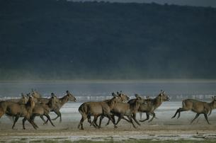ウォーターバック ナクル湖国立公園 ケニアの写真素材 [FYI03856671]