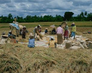 米の刈り入れの写真素材 [FYI03856682]