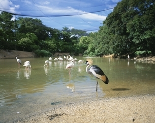 名護自然動植物園の緑と水面の鳥 名護市 沖縄県の写真素材 [FYI03856860]