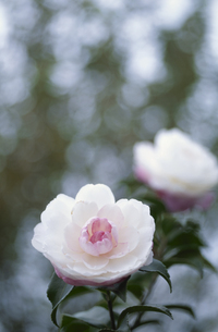 花(サザンカ・ツバキ科)の写真素材 [FYI03857292]