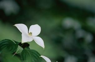 ミズキ科のヤマボウシの花(白)の写真素材 [FYI03857295]