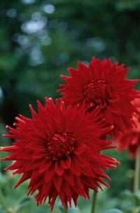 きく科のダリアの花(赤)の写真素材 [FYI03857296]