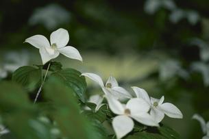 白い花(ヤマボウシ・みずき科)の写真素材 [FYI03857299]