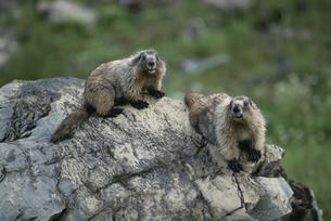 ヨーホー国立公園の2匹のマーモット ブリティッシュ カナダの写真素材 [FYI03857497]