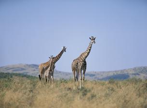 草原を歩くマサイキリンの親子 マサイマラ ケニアの写真素材 [FYI03857853]
