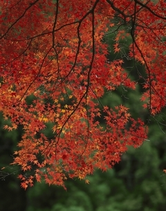 北山の紅葉 京都の写真素材 [FYI03857938]