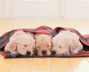 並んで寝る3匹のゴールデンレトリバーの子犬の写真素材 [FYI03858109]