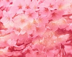 桜と和紙(ピンク)  フォトイラストの写真素材 [FYI03858224]