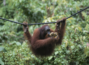 セピロックの縄にぶら下がるオラウータン ボルネオ マレーシアの写真素材 [FYI03858348]
