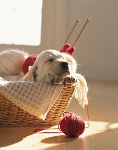 編み物カゴの中で寝る子犬(ラブラドール)の写真素材 [FYI03858462]