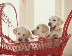 乳母車に乗る3匹の子犬(ラブラドールレトリバー)の写真素材 [FYI03858475]