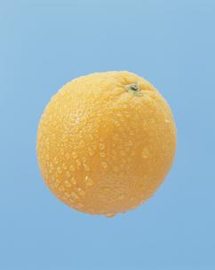 水滴のついたバレンシアオレンジの写真素材 [FYI03858811]