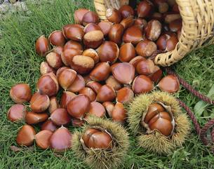 栗の収穫の写真素材 [FYI03858828]