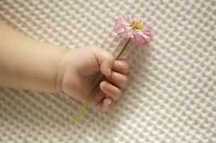 花を握る赤ちゃんの手の写真素材 [FYI03859010]