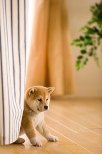柴犬の写真素材 [FYI03859073]