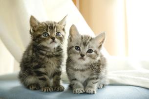 アメリカンショートヘアの子猫2匹の写真素材 [FYI03859078]