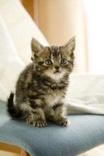 アメリカンショートヘアの子猫の写真素材 [FYI03859079]