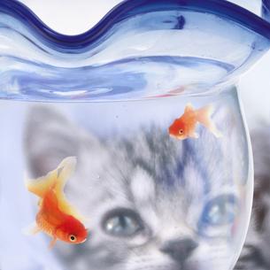 金魚鉢をのぞくアメリカンショートヘアの子猫の写真素材 [FYI03859111]