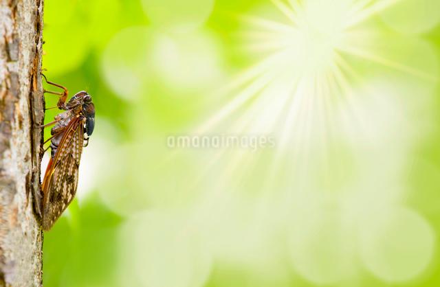 陽射しと木に止まるアブラゼミの写真素材 [FYI03859180]
