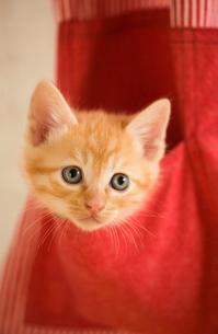 エプロンのポケットに入る猫の写真素材 [FYI03859222]