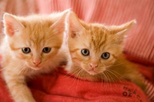エプロンのポケットに入る2匹の猫の写真素材 [FYI03859230]