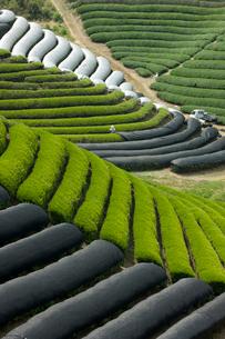 寒冷紗のかかった茶畑の写真素材 [FYI03859677]