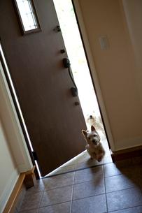 ドアから覗く2匹の犬の写真素材 [FYI03860536]