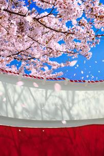 桜と紅白の幕の写真素材 [FYI03860835]