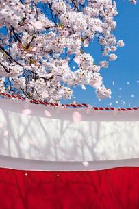 桜と紅白の幕の写真素材 [FYI03860837]