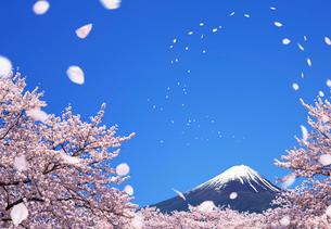 桜散る富士山の写真素材 [FYI03861119]