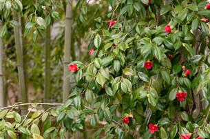 藪椿と竹の写真素材 [FYI03861185]