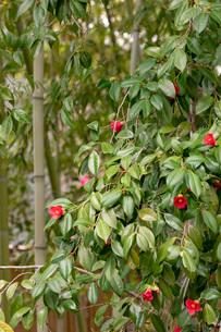 藪椿と竹の写真素材 [FYI03861186]