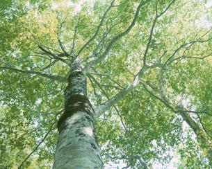 若葉の芽吹く春の新緑のブナの大木 カヤノ平高原 長野県の写真素材 [FYI03862209]