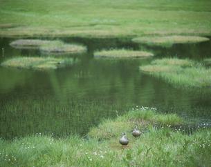春の湿原の2羽のカモとワタスゲの草 志賀高原 長野県の写真素材 [FYI03862224]