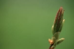 新緑の芽吹きの写真素材 [FYI03862808]