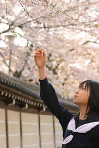 桜の枝に手を伸ばす日本人の女子学生の写真素材 [FYI03863595]