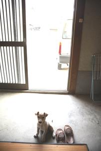 玄関にいる白い子犬の写真素材 [FYI03863789]